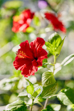 Hibiscus flowers blooming on a branch. Colorful summer background