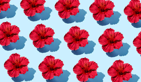 Colorful creative flat lay pattern of a hibiscus flower on a blue background from a top view. Trendy summer fashion minimalistic concept.