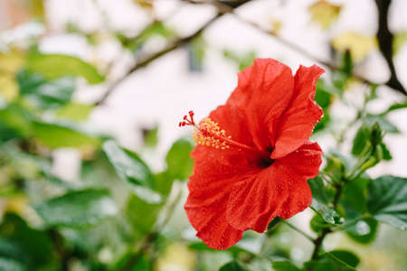 Closeup of a red hibiscus with pollen among the leaves. Imagens
