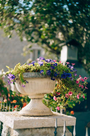 Petunia and lobelia in flower pots. Architectural flowerpots with flowers. Imagens