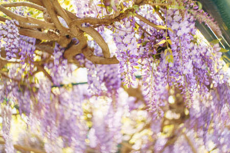 Wisteria with purple bunches of flowers on the branches.