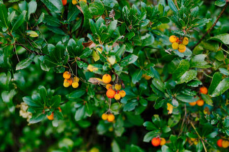 Yellow fruits of Arbutus unedo on branches with bright green leaves. Imagens