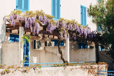 Bunches of wisteria flowers on an arch near a house with closed windows and partitions with entrances. Imagens