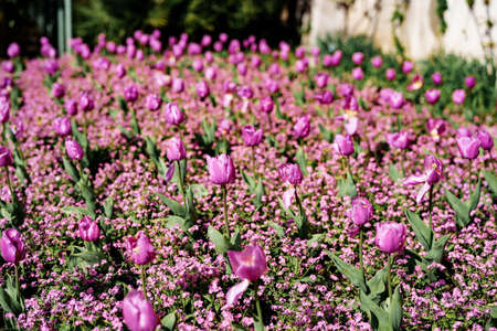 Flowerbed with purple tulips - spring background, on Como lake, Italy Imagens