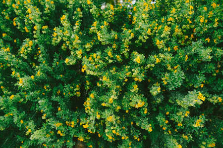 A fluffy bush with green leaves and small yellow flowers.