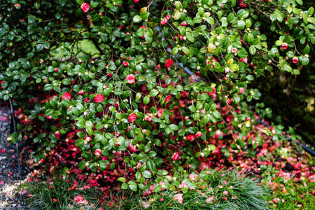 Lush bush of pink camellia with fallen petals and green leaves on the grass.