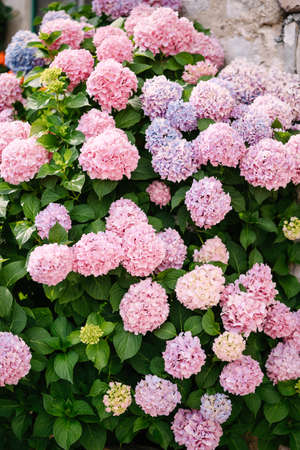 Bushes of pink hydrangeas in green leaves in a garden near a stone wall.