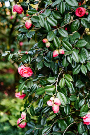 Close-up of a bush of pink camellia with green leaves in the garden.