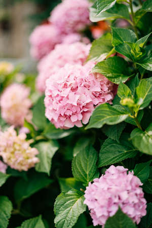Pink hydrangea flowers close-up in green leaves.