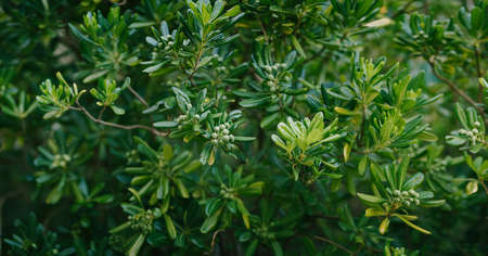 Panorama of Pittosporum tobira during seed ripening.