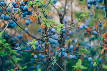 Fruits of blue plums on the branches of a plum tree during ripening.