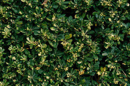 Seeds of Pittosporum tobira close up on a sunny day. Imagens