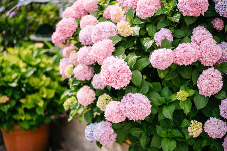 Bush of pink hydrangeas among green leaves in the garden.
