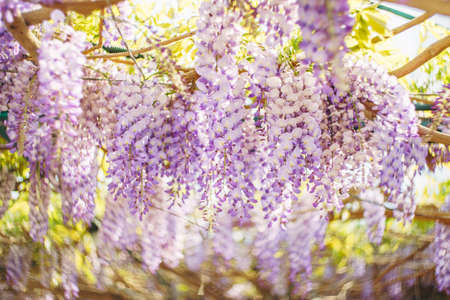 Lilac flowers of wisteria close-up on the arch. Imagens