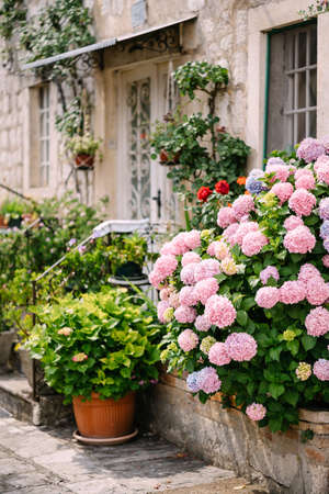 Bushes of pink hydrangea outside the house with metal bars at the entrance. Imagens