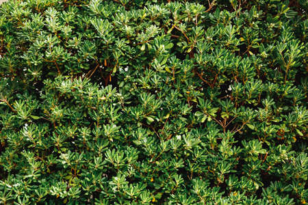 Close-up of dense leaves of Pittosporum tobira bushes.