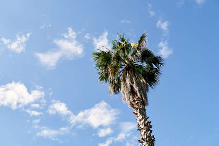 Top of a date palm against a blue sky with white clouds