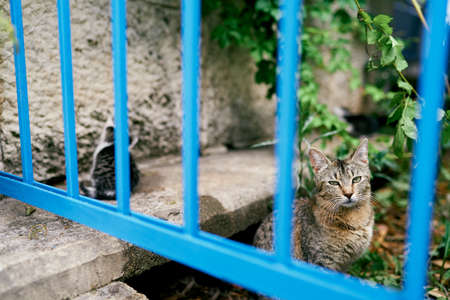 Gray tabby cat with a kitten sits behind a blue metal fence in the yard