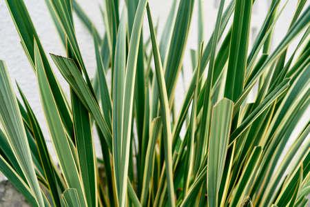 Green grass of Japanese sedge. Close-up Imagens