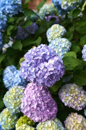 Large multi-colored flowers on a hydrangea bush. Close-up