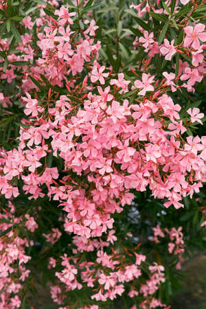 Pink flowers of phlox on a green bush. Close-up