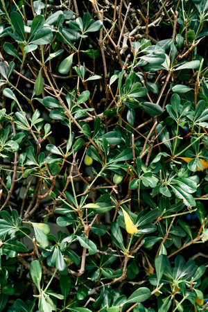 Green leaves of a bearberry bush. Close-up Imagens