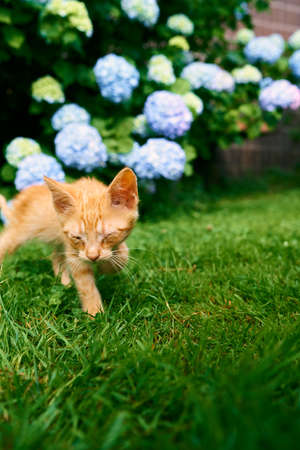 Ginger kitten walks on a green lawn against the background of blooming hydrangea Imagens