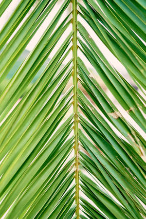Green branch of date palm. Close-up