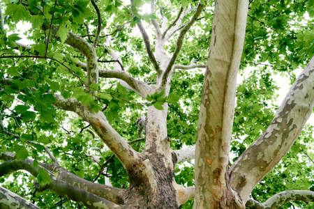 Large spreading plane tree. Close-up