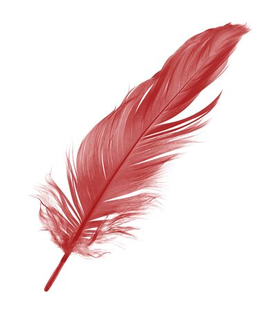 Beautiful red maroon feather isolated on white background