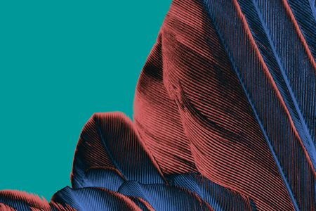 close up feather brown - blue isolated on green background Archivio Fotografico