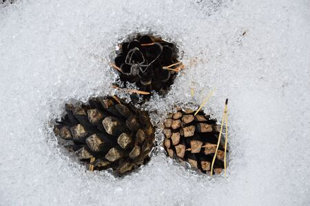 pine three: Three pine cones and spider. Frozen in the snow. Stock Photo