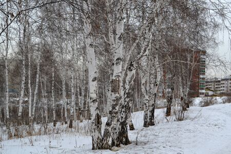 outskirts: Birch grove on the outskirts of the city. It is still snowing. Stock Photo