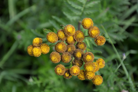 withering: Tansy flower in the fall. Withering. Stock Photo