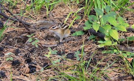 ardilla: Chipmunk en el bosque. Mirando a la cámara. Otoño. Foto de archivo