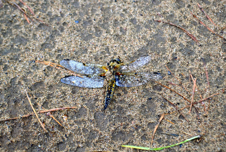 interrupted: The interrupted flight of a dragonfly. After a rain.
