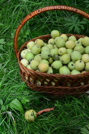 sour grass: Basket of green apples on green grass. Side view