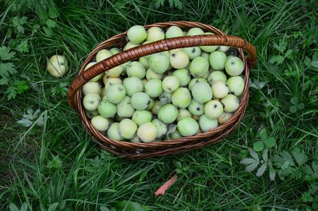 sour grass: Basket of green apples on green grass. The view from the top.