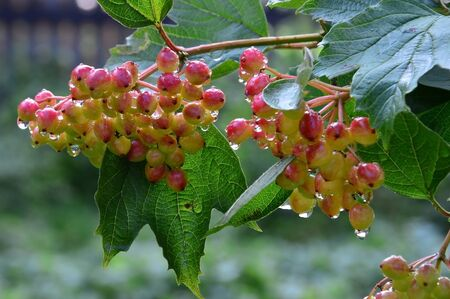 maturation: The maturation of viburnum. Berries after the rain.