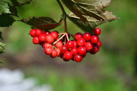 snowball: Red snowball tree. Viburnum. Berry. Stock Photo