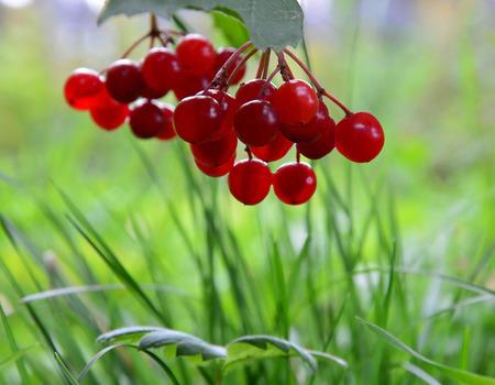 boule de neige: Arbre boule de neige rouge. Viorne. Baie.