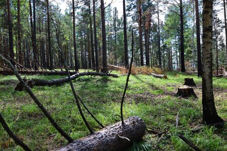 poaching: Illegal deforestation. The wood on the left. Stumps, branches, trunks.
