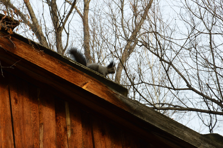 the stands: Black squirrel stands on the roof of wooden house. A guest from the wild forest.