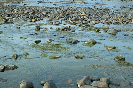 overgrown: River stones are overgrown with green algae