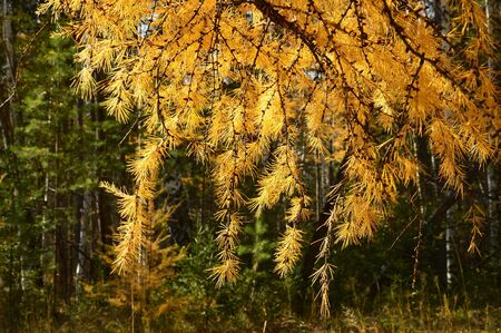 larch: The colors of autumn. Larch.