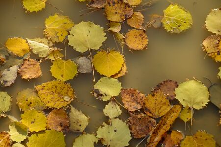 wilting: Autumn yellow birch leaves in a puddle after the rain