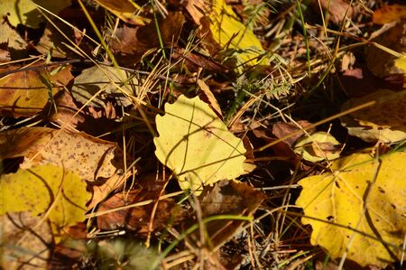 wilting: Autumn yellow birch leaves Stock Photo