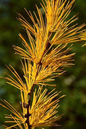 larch tree: Branch of Larch tree. Autumn. Stock Photo