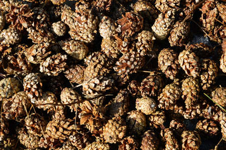 thawed: Pine cones in the spring. Background.