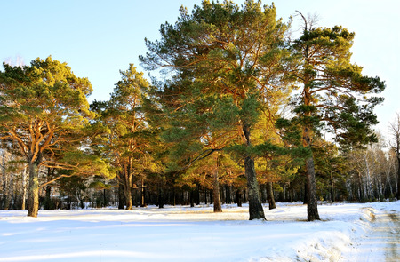 Meadow with pine trees. Spring is coming. At sunset. At the end of February.
